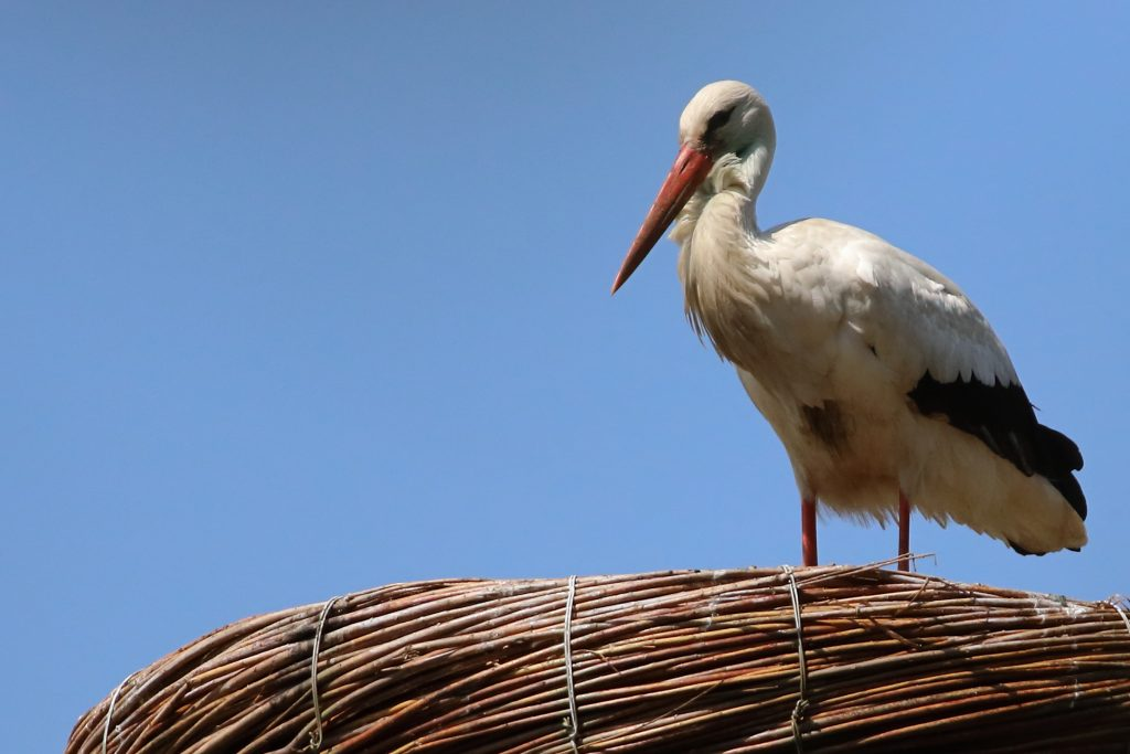 ooievaar op nest (1)